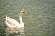 Free Swan Stock Photo - 33342850