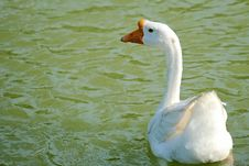 Free Swan Stock Photos - 33342873