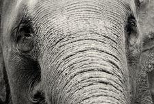 Free Elephant Close-up Royalty Free Stock Photography - 33342917