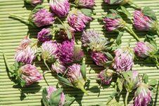 Free Clover Flowers Stock Photo - 33343200
