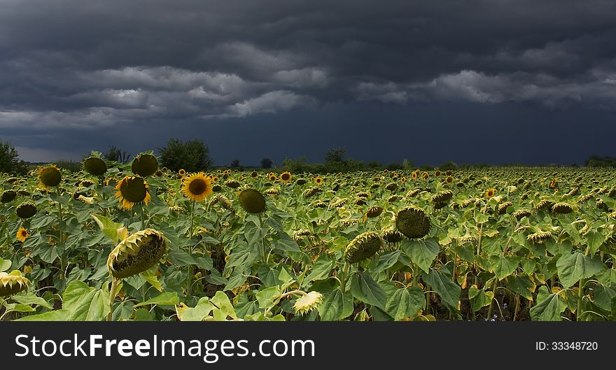 Sunflower with storm