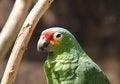 Free Parrot Bird. Stock Photos - 33362223