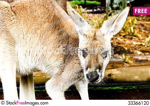 Free Kangaroo Stock Photo - 33366120