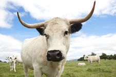 White Cow Stock Image