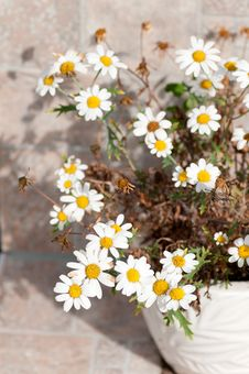 Free Flowers Of A Camomile Chemist S Royalty Free Stock Photography - 33366417
