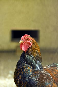 Free Chicken Closeup Royalty Free Stock Photo - 33369075
