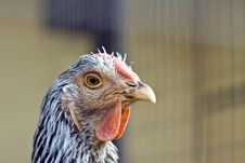 Free Chicken Closeup Royalty Free Stock Image - 33369076