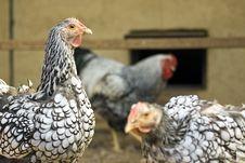 Free Chicken Closeup Stock Photo - 33369080