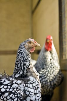Free Chicken Closeup Stock Photography - 33369082