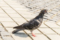 Free Wet Pigeon Stock Images - 33372004