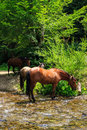 Free Three Horses Watering On A Forest Creek.vertical Stock Photos - 33377763