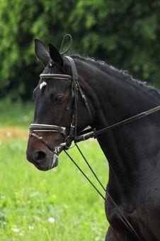 Portrait Of Arabian Stallion Stock Photo