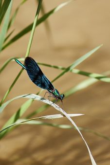 Free Dragonfly Royalty Free Stock Images - 33398949