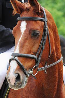 Portrait Of Arabian Stallion Stock Image