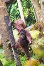 Free Orang Utan Reaching Out Royalty Free Stock Photo - 3341425