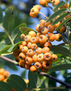 Free Ashberry Stock Image - 3344101