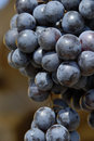 Free Grape Stock Images - 3347634