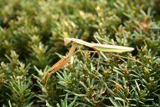 Free Praying Mantis Stock Photo - 3340110