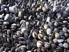 Free Mussels Stock Image - 3340641