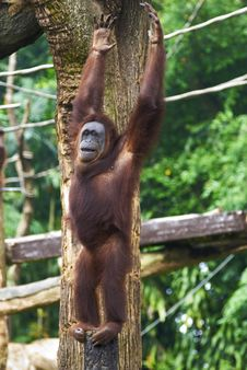Free Orang Utan Raises Both Arms Royalty Free Stock Image - 3341416