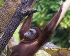 Free Gloomy Face Orang Utan Stock Photos - 3341463