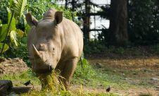 Free Feeding Rhinocerous Stock Photo - 3341790
