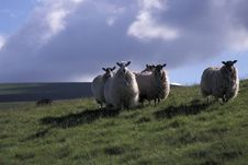 Free Hill Sheep. Stock Photo - 3342540