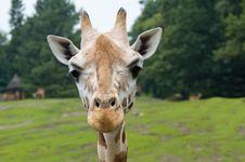 Free Funny Looking Giraffe Royalty Free Stock Image - 3342626