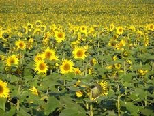 Free Sunflowers Royalty Free Stock Images - 3343599