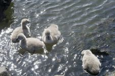 Free Four Swan Cygnets Royalty Free Stock Photography - 3345127