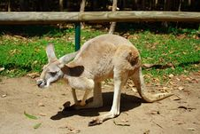 Free Kangaroo Stock Photography - 3345312