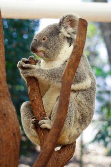 Free Koala Stock Photo - 3345500