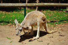 Free Kangaroo Royalty Free Stock Photography - 3345517