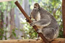 Free Koala Royalty Free Stock Photo - 3345565