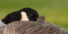 Free Canada Goose Royalty Free Stock Image - 3345596