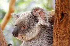 Free Koala Stock Photos - 3345613