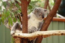 Free Koala Stock Photos - 3345623
