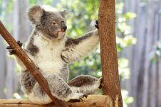 Free Koala Royalty Free Stock Photography - 3346607