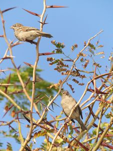 Free Two Sparrows Stock Image - 3347251