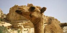 Free Camel In Sede Boker Desert Stock Image - 3347441