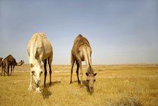 Free Camel In Sede Boker Desert Stock Photo - 3347660