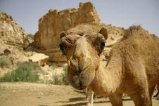 Free Camel In Sede Boker Desert Royalty Free Stock Images - 3347709