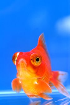 Free Dragon Eye Goldfish Royalty Free Stock Image - 3348296