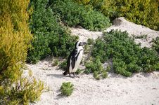 Free Magellan Penguin Posing Royalty Free Stock Photos - 3348428