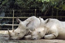 Free Two Rhinos Resting Side By Sid Royalty Free Stock Photography - 3348477