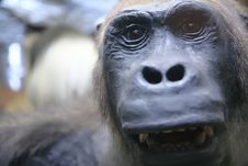 Free Monkey Close-up Portrait Royalty Free Stock Photography - 3348517