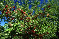 Free Apples Ready For Harvest Stock Photo - 3349500