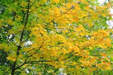 Free Autumn Leaves Royalty Free Stock Photo - 3349715