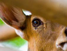 Free Deer S Eye Stock Photos - 3349743