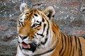 Free Tiger Stock Image - 33407471